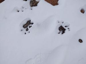 Bear tracks in the area of the Interpretive Loop at the end point.