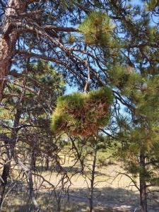 Odd bunch of pine needles on a tree.